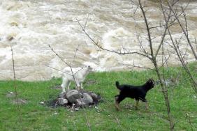 Доскоро в Панчарево се отглеждаха много кози